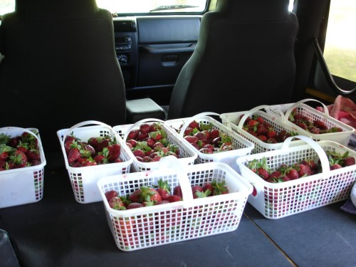 strawberry-picking
