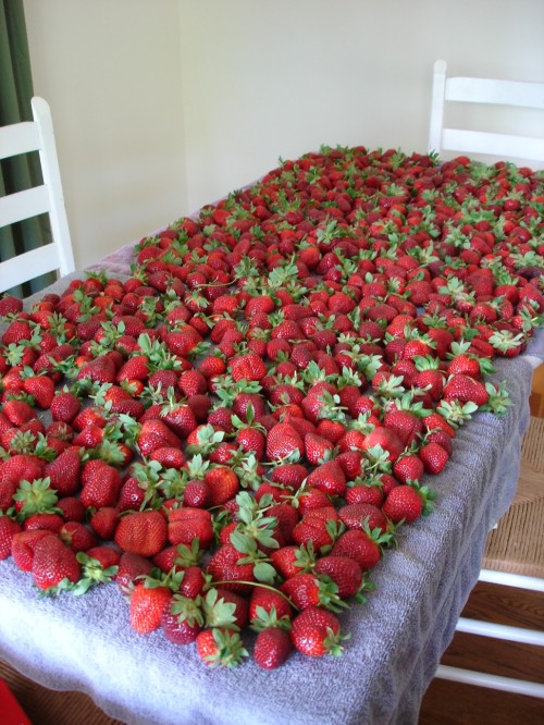 strawberry-yield